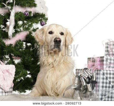 Golden Retriever, 8 years old, lying with Christmas gifts in front of white background