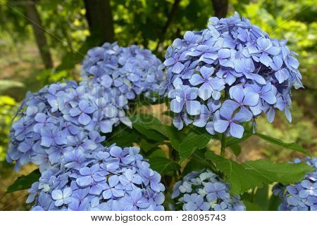 Hortensia (Hydrangea Macrophylla) typical flower of azores
