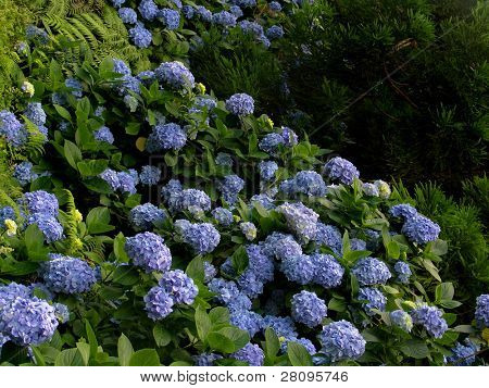 Hortensia (Hydrangea Macrophylla) typical flower of azores