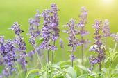 Lavender Flower. Flower In Garden At Sunny Summer Or Spring Day. Flower For Postcard Beauty Decorati poster