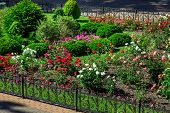 Flowerbed With Landscaping Bush Roses With Buds And Evergreen Round Bushes Behind A Black Iron Fence poster