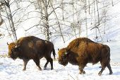 pic of aurochs  - two big bisons in the winter forest - JPG