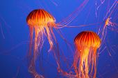 pic of pus  - Magnificent bright exotic jellyfishes in an aquarium of an aqua - JPG