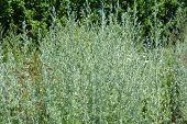 Wormwood  Or Artemisia Absinthium  (absinthe, Absinthium, Absinthe Wormwood, Grand Wormwood, Wormwoo poster