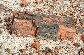 foto of paleozoic  - petrified wood - JPG