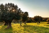Old Olive Trees Grove In Bright Morning  Sunlight poster