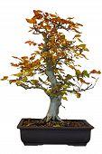 foto of cottonwood  - Autumn cottonwood bonsai tree isolated on white - JPG