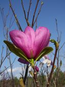 foto of japanese magnolia  - this pretty purple bloom is on a japanese magnolia tree - JPG