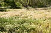 picture of cottonwood  - green plants and cottonwood trees in the desert - JPG