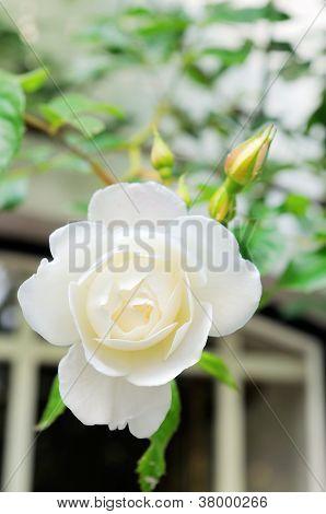 white roses in garden