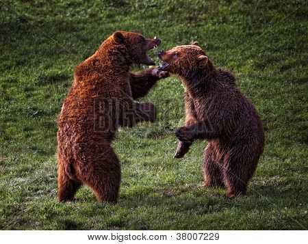 Bear fight