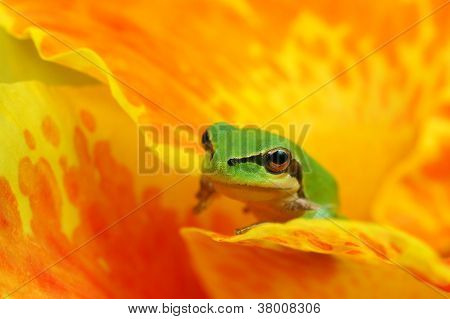 Little hyla tree frog over a yellow and orange flower