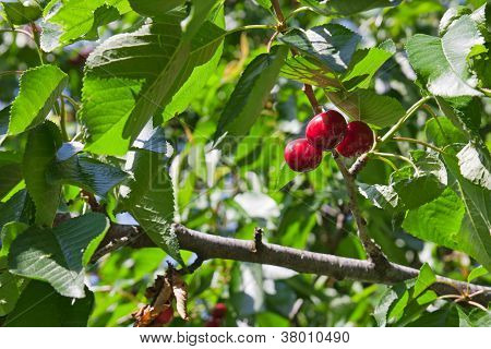 A Three Red Small Cherries