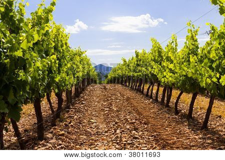 Grapes Valley In Spain