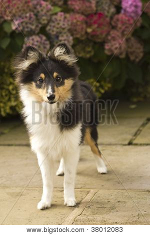 Alert Sheltie Puppy
