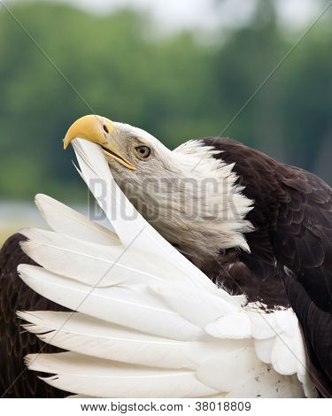 Adult Bald Eagle preening