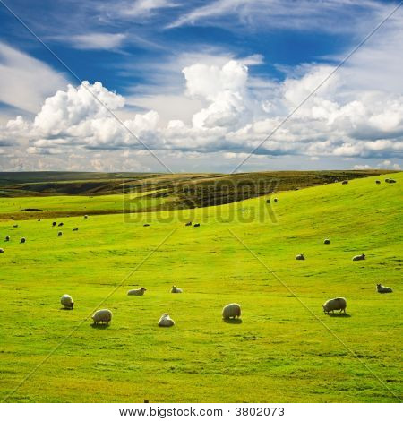 Meadow With Flock Of Sheeps