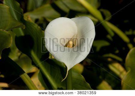 White Arum lily flower