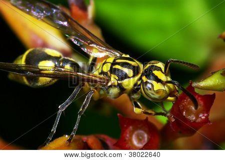 yellow vesper