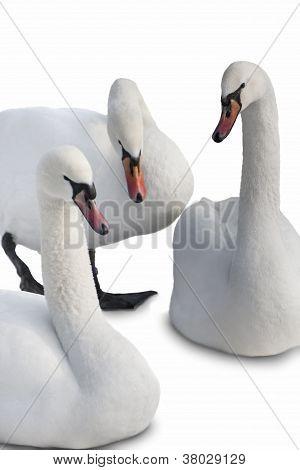 Three White Swans