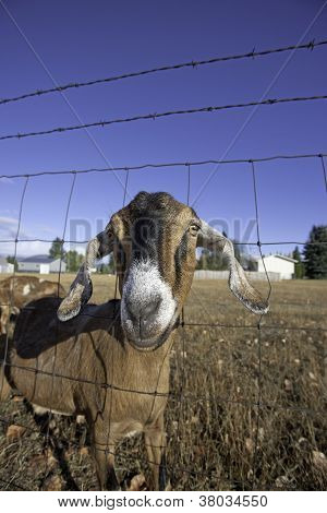 Nubian Goats Pokes Through The Fence.