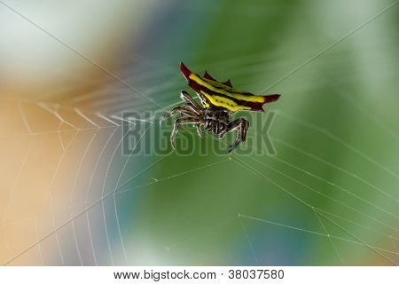 Horned Spider (gasteracantha Doriae) In It's Web