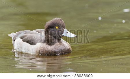 Female Tufted Duck Swimming On A Lake