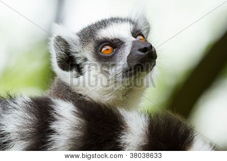 Ring-tailed Lemur  In A Dutch Zoo
