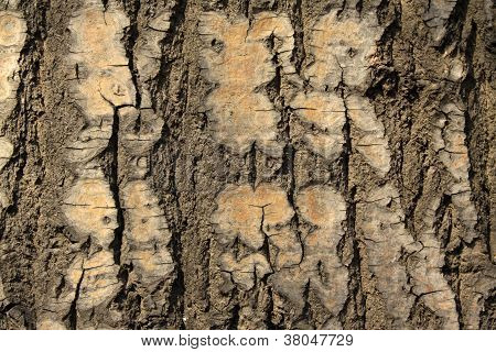 old populus tomentosa tree bark