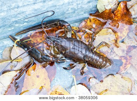 Crawfish alive in water and leves