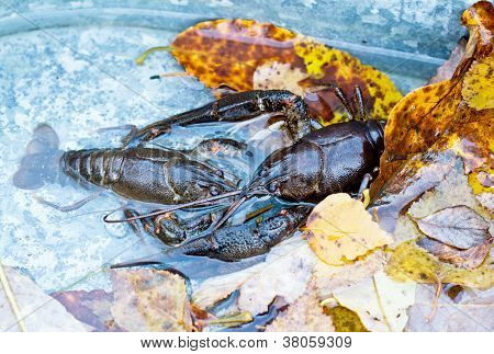 Two Crawfish Fighting In Water And Leves