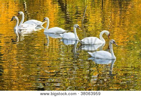 White Mute Swans With Fall Colors In Water