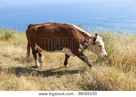 Cow Grazing At The Meadow On The Cliffs Of The Shoreline