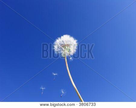 Dandelion Seeds Floating On Blue Sky … Wishes