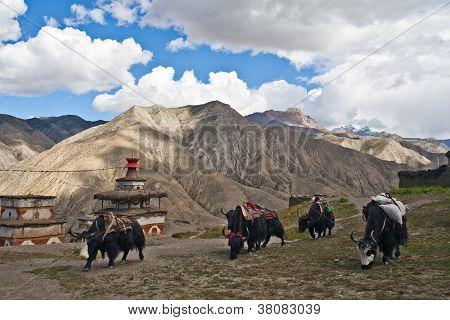 Caravan of yacks in the Himalaya