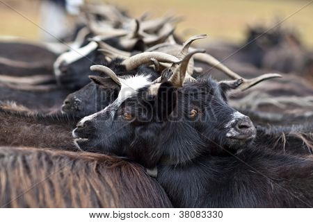 Herd Of Goats