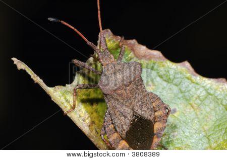 Dock Leaf Bug Close-Up Portrait