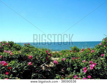 Beach Roses On A Sand Dune