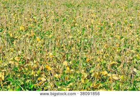 Field Soybeans In Autumn.