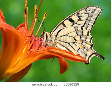 Machaon Butterfly Sitting On Lily