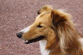 picture of sheltie  - sheltie collie dog being attentive and alert - JPG