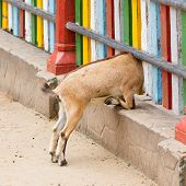 stock photo of pygmy goat  - Brown goat looking through a colorful fence - JPG