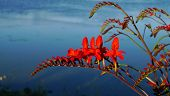 picture of crocosmia  - Crocosmia in late afternoon with water in the background - JPG