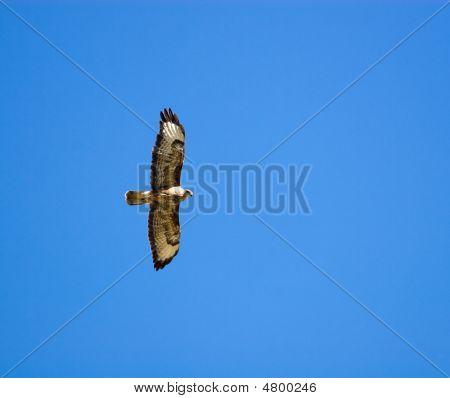 Buteo Buteo, Common Buzzard