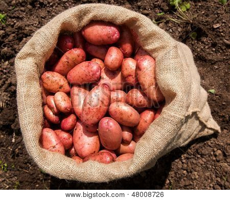 A sack of freshly picked potatoes