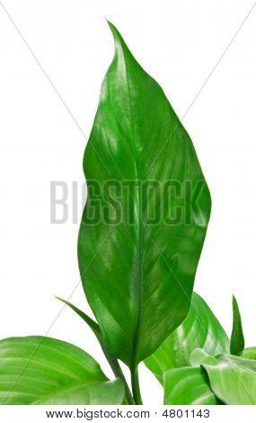 Green Leafs 11