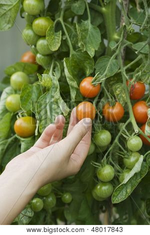 Closeup of a hand touching fresh tomato on plant