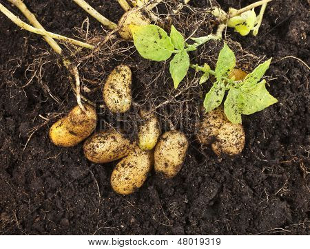 fresh potato vegetable with tubers in soil dirt surface background
