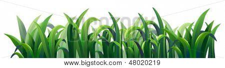 Ilustración de las gramíneas alargadas verdes sobre un fondo blanco