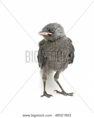 Bird On A White Background